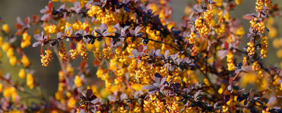 The Buzz About Berberine (Great Metabolism Booster!)