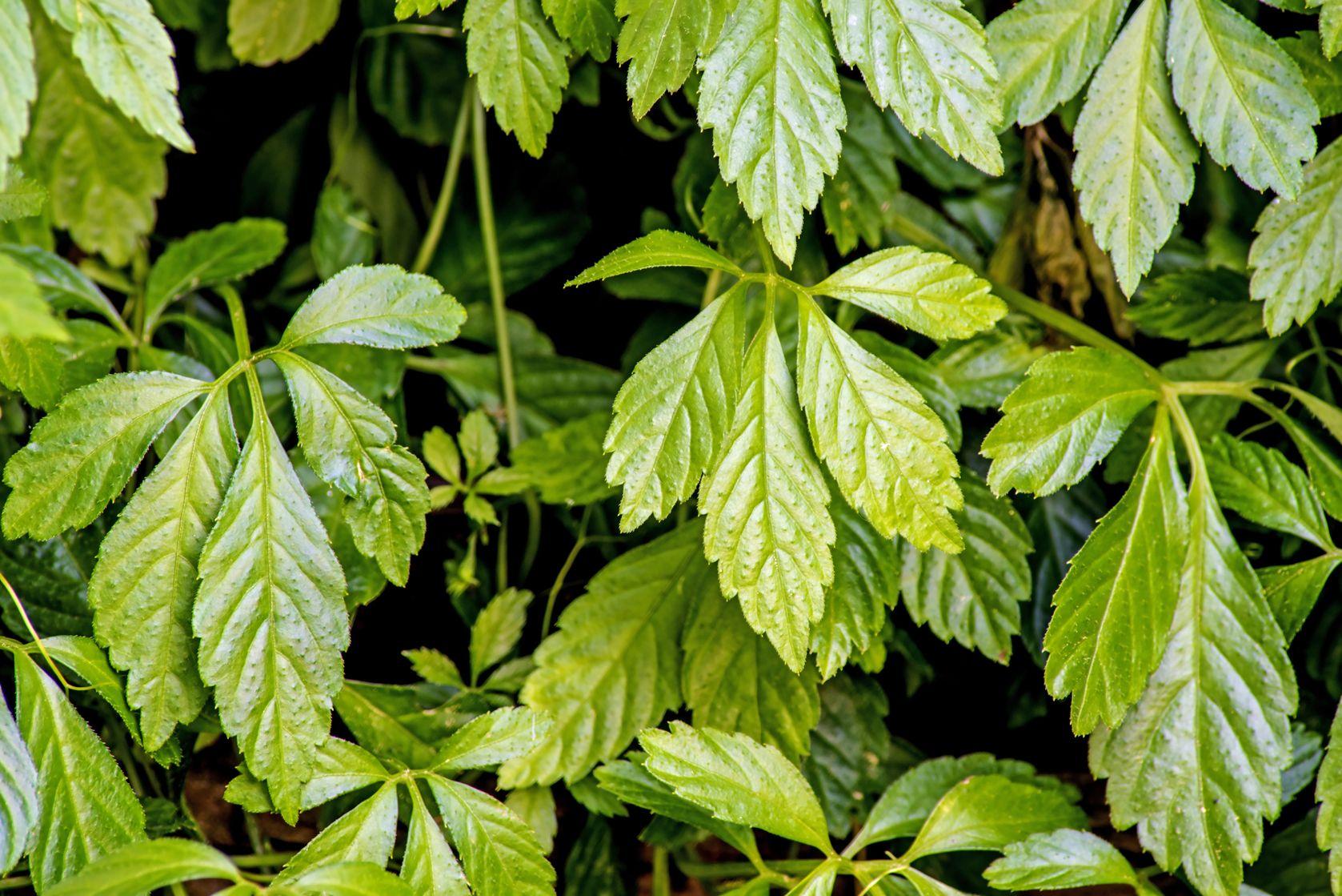Gynostemma Pentaphyllum   Nucific