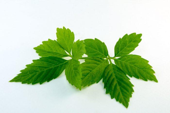 Gynostemma Pentaphyllum Herb Has Powerful Effects on Health