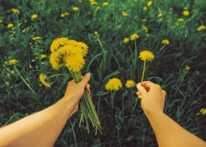 picking dandelions | Nucific