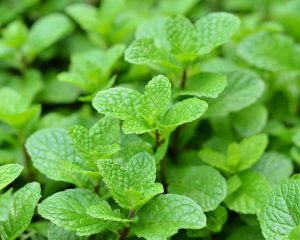 peppermint | Nucific